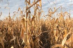 Autunno del campo di grano Campo agricolo con l'autunno del cereale Immagine Stock Libera da Diritti