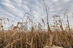 Autunno del campo di grano Campo agricolo con l'autunno del cereale Immagine Stock