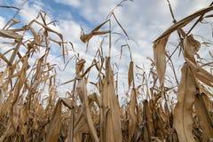 Autunno del campo di grano Campo agricolo con l'autunno del cereale Fotografia Stock Libera da Diritti