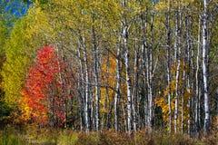 Autunno del nord di legni fotografia stock libera da diritti