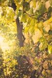 Autunno dell'albicocca fotografia stock