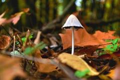 autunno della foglia della foresta del fungo Fotografia Stock Libera da Diritti