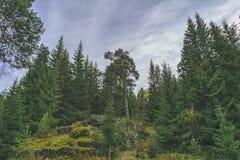 Autunno della foresta di conifere nelle montagne fotografie stock libere da diritti