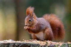 Autunno dello scoiattolo Fotografie Stock
