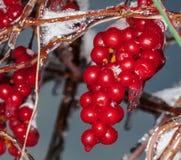 Autunno di Schisandra dell'uva Fotografie Stock
