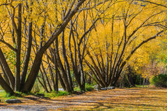 Autunno dorato in Arrowtown Fotografia Stock