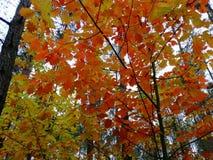 Autunno dorato della foresta luminosa di autunno Immagine Stock