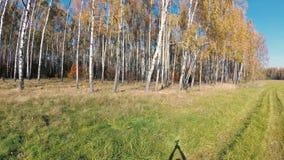 Autunno dorato in un boschetto della betulla un chiaro giorno stock footage