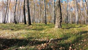 Autunno dorato in un boschetto della betulla un chiaro giorno archivi video