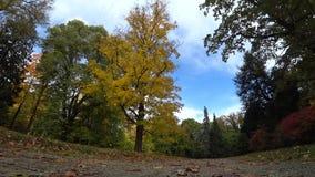 Autunno ed albero giallo stock footage