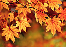 Autunno, foglie di acero Immagini Stock Libere da Diritti