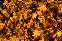 Autunno - foglie di giallo Fotografie Stock