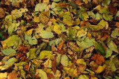 Autunno - foglie di giallo Immagine Stock Libera da Diritti