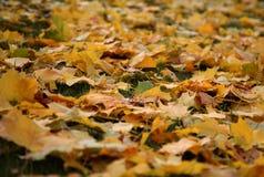 Autunno - foglie di giallo Immagini Stock Libere da Diritti