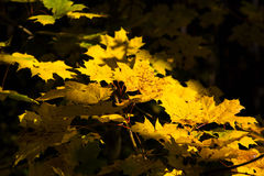Autunno - foglie di giallo Fotografia Stock