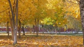 Autunno foglie gialle che cadono sui precedenti degli alberi archivi video