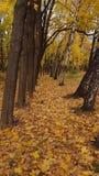 Autunno Foresta molto fogliame giallo Fotografie Stock