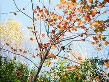 Autunno fumoso degli alberi delle montagne Fotografie Stock Libere da Diritti