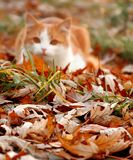 autunno Giallo-eyed fotografie stock libere da diritti