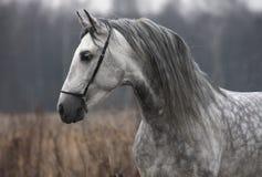 Autunno grigio del cavallo Fotografia Stock