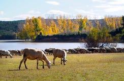 """Autunno le pecore bianche nel †della Spagna """"si avvicinano al lago Immagine Stock Libera da Diritti"""