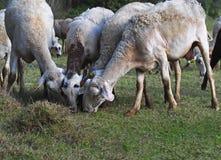 """Autunno le pecore bianche nel †della Spagna """"si avvicinano al lago Fotografia Stock"""
