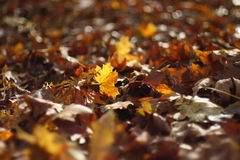 Autunno Leafes Fotografia Stock