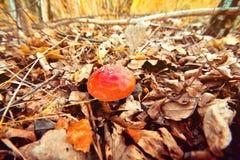 Autunno nel fungo della foresta Fotografia Stock