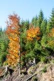 Autunno nel legno nelle colline pedemontana delle montagne di Jeseniky Immagine Stock Libera da Diritti