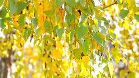 Autunno nel parco: foglie dorate dell'albero di betulla alla luce solare video d archivio