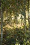Autunno nella foresta della betulla fotografia stock libera da diritti