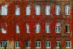 Autunno rosso dell'uva selvaggia, alla parete della casa Immagine Stock