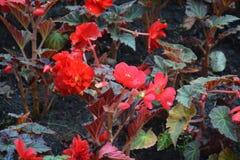 Autunno rosso delle foglie della natura del parco dei fiori fotografie stock