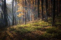 Autunno in una bella foresta incantata con luce solare Fotografia Stock Libera da Diritti