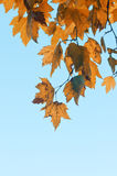 Auutmn yellow leaves Royalty Free Stock Images