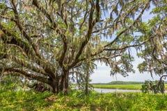 Auvent de mousse espagnole sur Angel Oak Tree image libre de droits