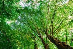 Auvent de vert d'été de ressort des arbres grands Forêt à feuilles caduques, résumé Images stock