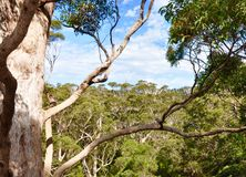 Auvent des arbres de tintement : Australie occidentale Images stock