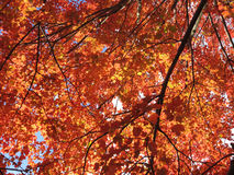 Auvent des feuilles rouges image libre de droits