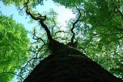 Auvent supérieur d'arbre au printemps image libre de droits