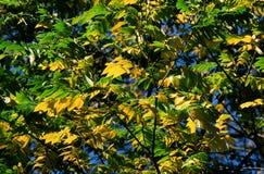 Auvent vert et jaune de feuille Photo stock