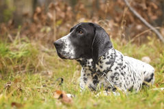 Auvergne pointing dog puppy  is waiting outside Stock Images