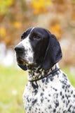 Auvergne som pekar hunden fotografering för bildbyråer