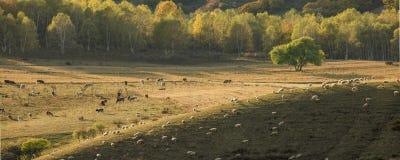 Aux moutons d'ichiyoshi photographie stock libre de droits