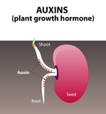 Auxins. plant hormone Stock Photography