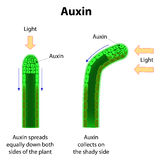 Auxins Stock Photos
