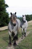 Auxois (caballo de bosquejo) Foto de archivo libre de regalías