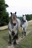 Auxois (draft horse) Royalty Free Stock Photo