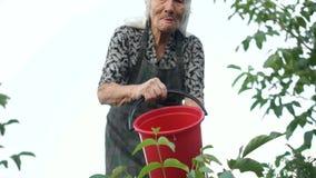 A avó molhou seu jardim de uma grande cubeta vermelha Produção de leite ecológica, agricultura, pensionista no país filme