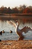 av att ta för swan Royaltyfria Bilder